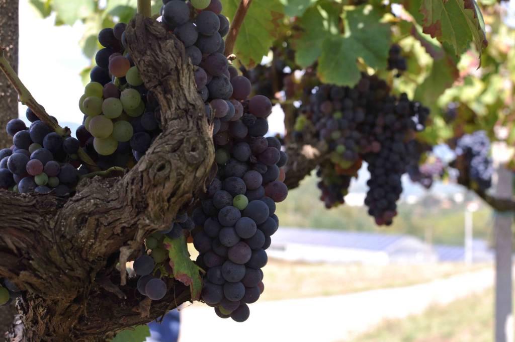 Italian grapes ready for harvest