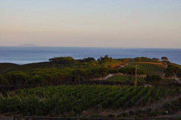 Elba_vineyards