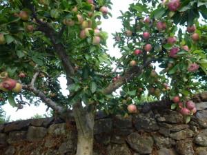 juicy Etna apples