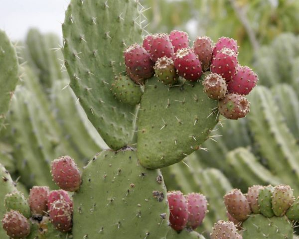 fichi dindia are prickly pears