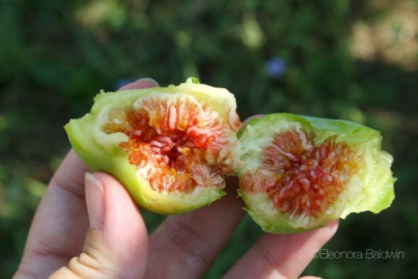 September figs in Italy