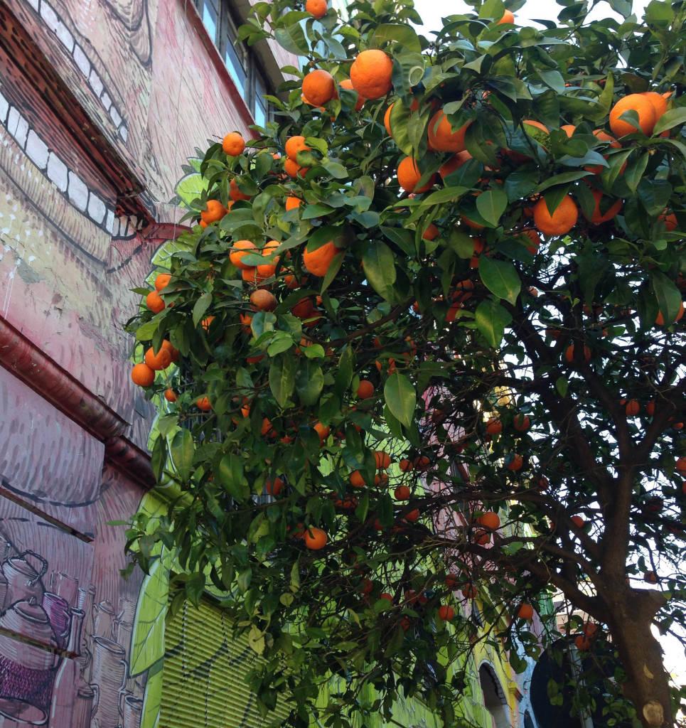 urban foraging of oranges in Rome