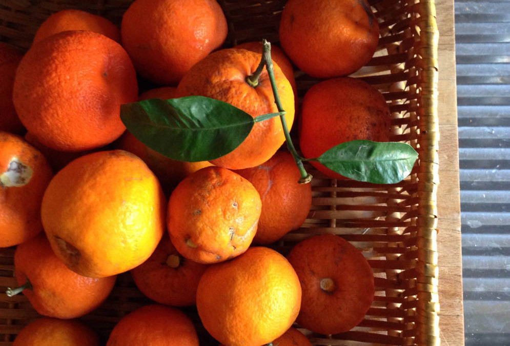 Wild Oranges: Urban Fruit in Rome