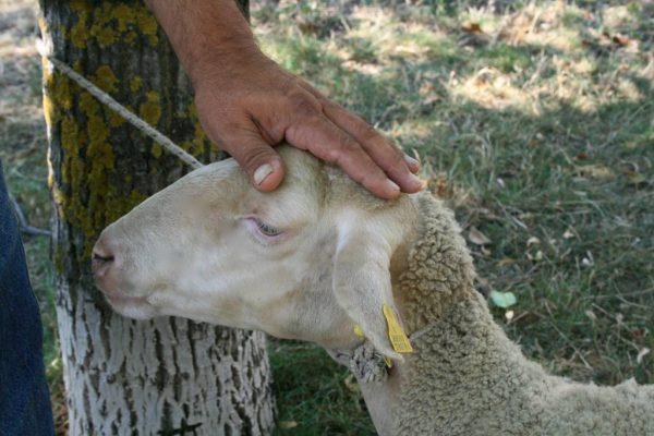 Abruzzo sheep eleonora baldwin