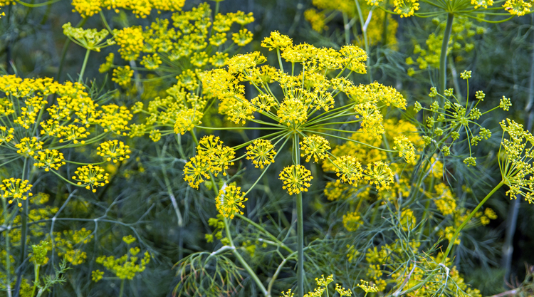 The Herb Garden: Fennel