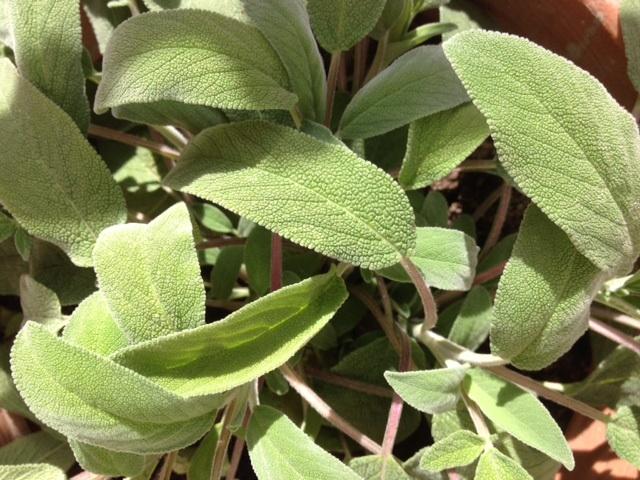 The Herb Garden: sage