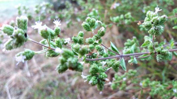 The Herb Garden: Oregano – www.casamiatours.com