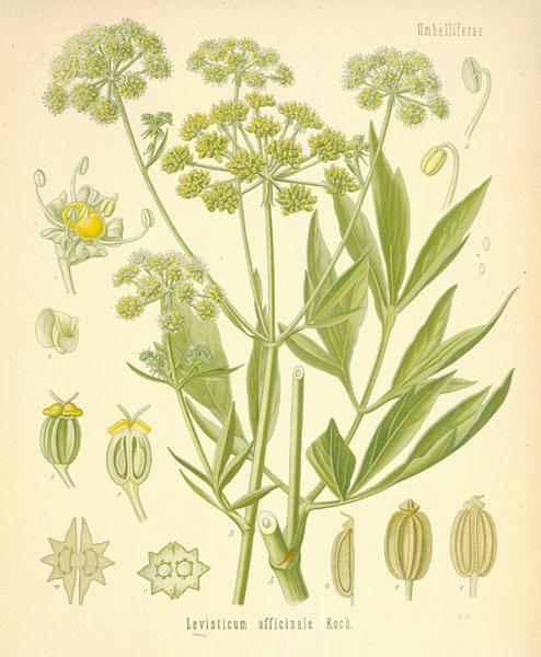 The Herb Garden - lovage — www.casamiatours.com