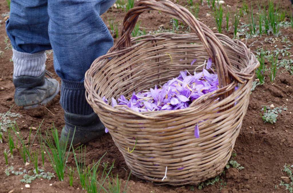 Saffron harvest at Cooperativa Altopiano di Navelli