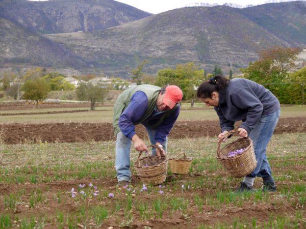 saffronharvest