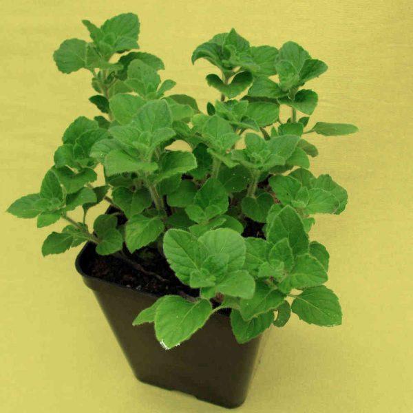 The Herb Garden: Mentuccia