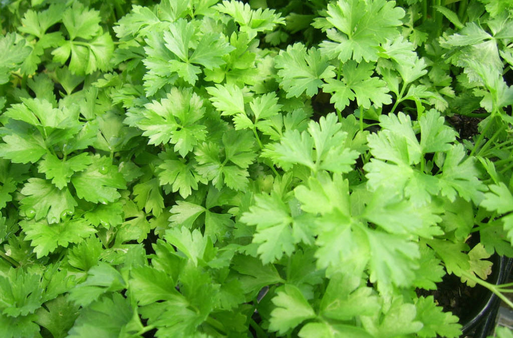 The Herb Garden: Parsley