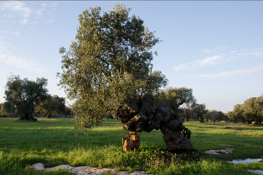 Liquid gold, the olive oil of Masseria Brancati