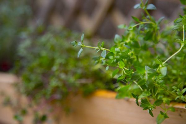 The Herb Garden: Thyme