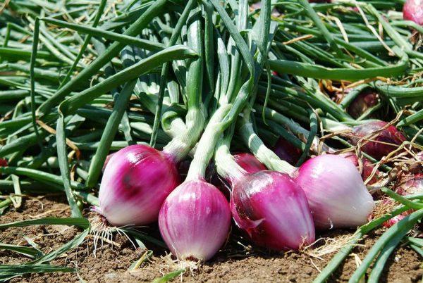 Cipolla Rossa di Tropea red onions