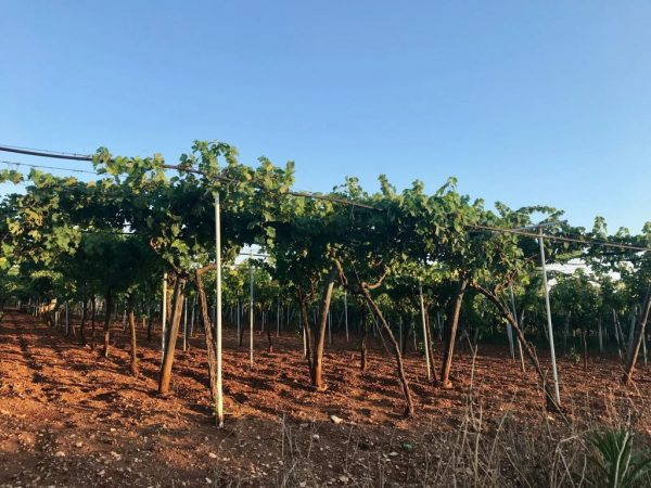 Primitivo vineyard Puglia